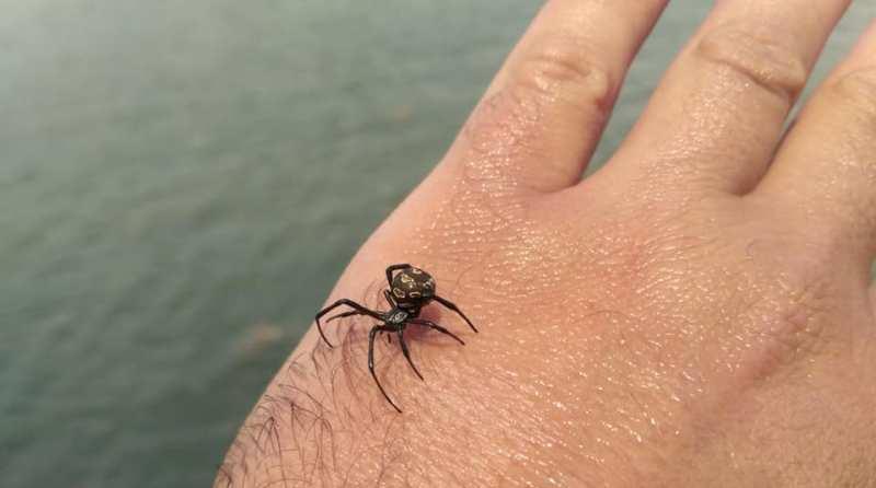 В Одесской области снова размножается каракурт (паук «черная вдова»)