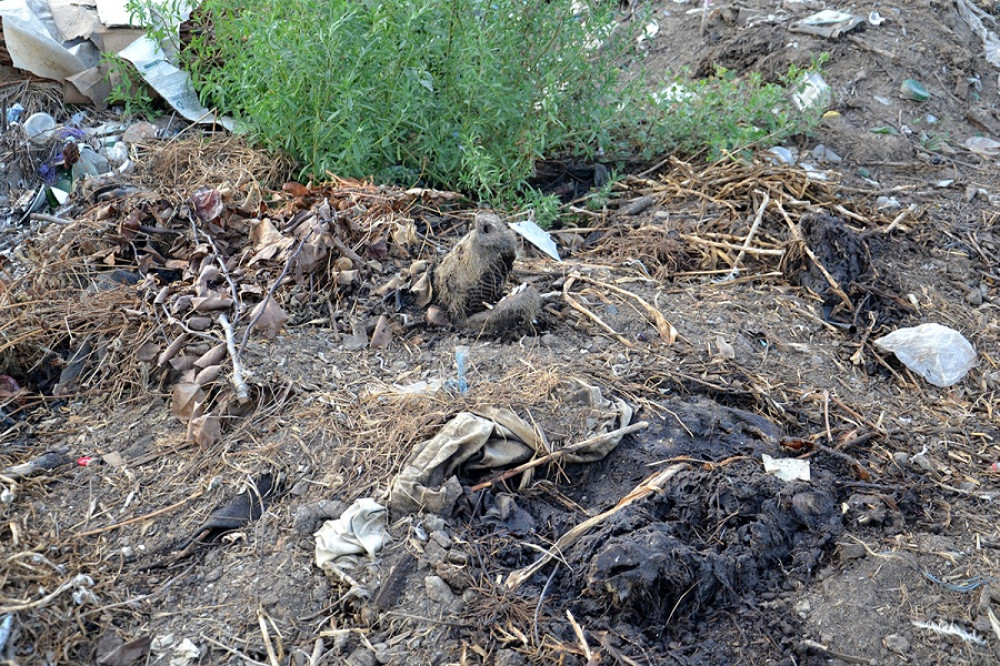 В Измаильском районе жители села тайком вывозят трупы больных свиней на свалку