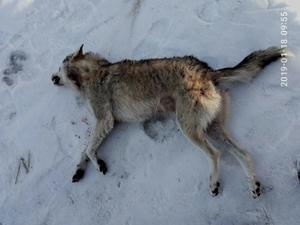 В Ренийском районе впервые за много лет добыли волка