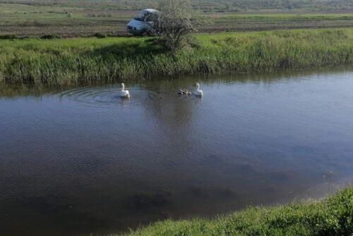 Жители Болградского района вернули паре лебедей пятерых птенцов